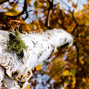 Birch in the Black Hills of South Dakota